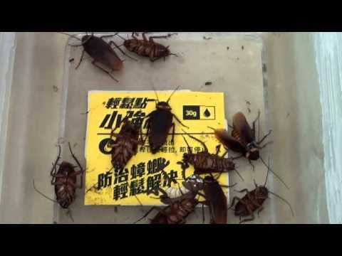 蟑螂藥推薦-【輕鬆點小強絕】是低調但安全無臭的高效【攻蟑剋星】